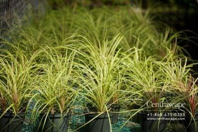 Centrascape - Palms - PonyTail