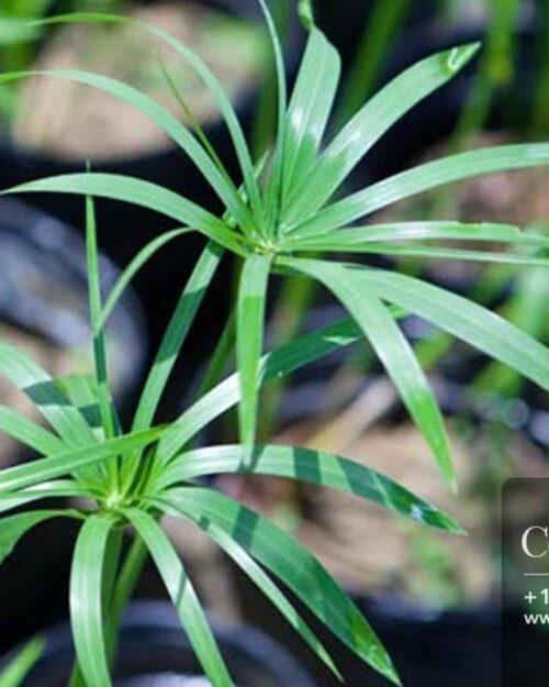 Centrascape - Aquatic Plant - Papyrus