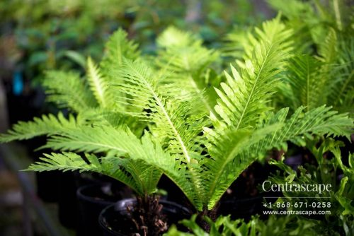 Centrascape - Ferns - Tree Fern