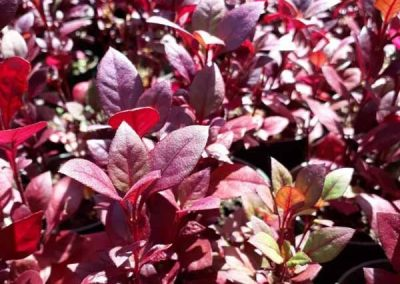 Centrascape - Groundcovers - Alternanthera Brazilian Red