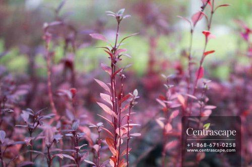 Centrascape - Groundcovers - Alternanthera Hong Kong