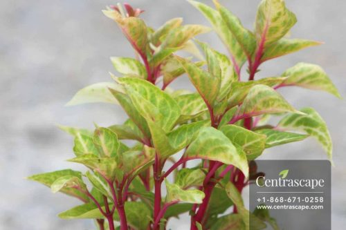 Centrascape - Groundcovers - Alternanthera Party Time
