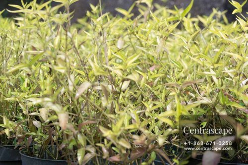 Centrascape - Groundcovers - Althernanthera Yellow Form