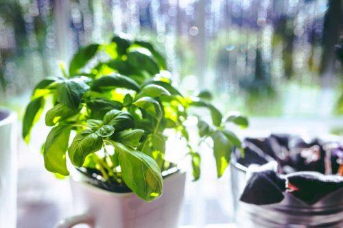 Centrascape - Herbs - Basil