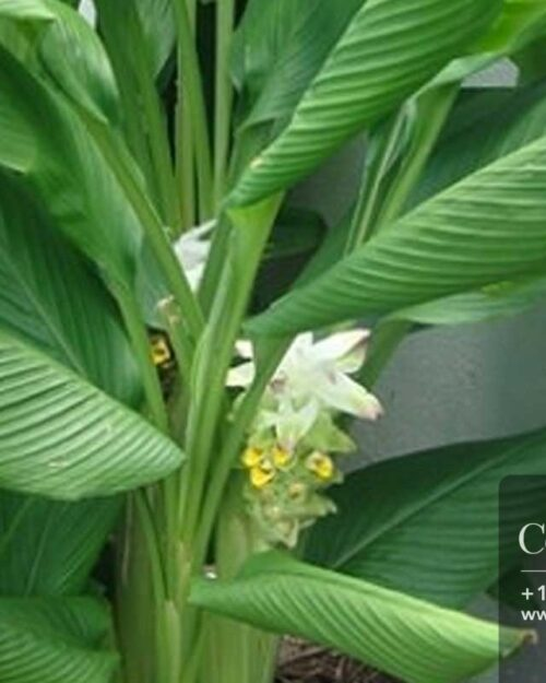 Centrascape - Herbs - Tumeric