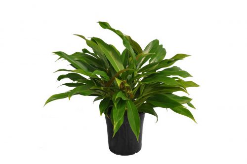 Centrascape - Houseplant - Little Phil
