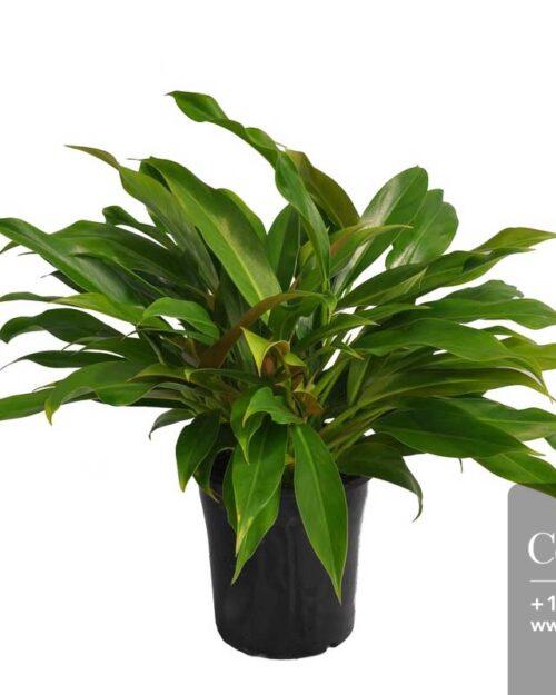 Centrascape - Houseplant - Little Phil