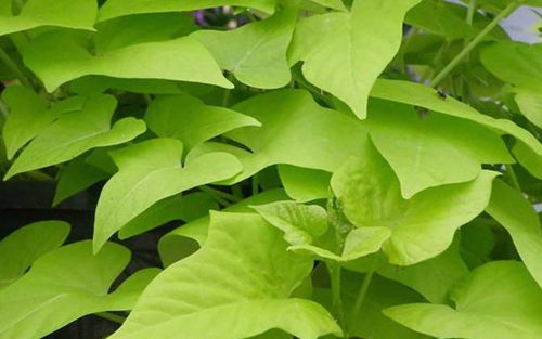 Centrascape - Houseplant - Potato Vine