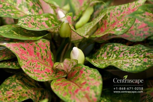 Centrascape - Houseplants - Aglaonema