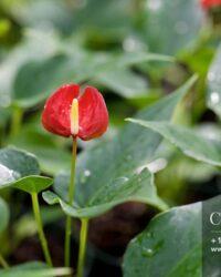 Centrascape - Houseplants - Anthurium