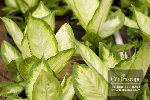 Centrascape - Houseplants - Dieffenbachia