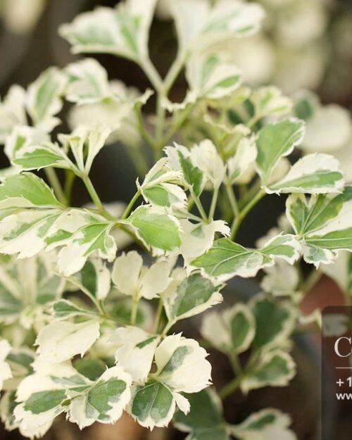 Centrascape - Houseplants - Mini Aralia