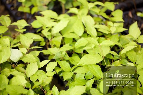 Centrascape - Houseplants - Schefflera