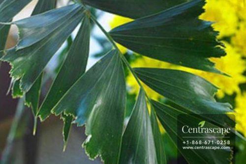 Centrascape---Palms---Fishtail
