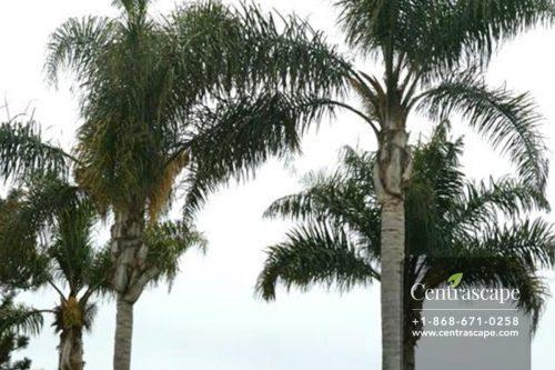 Centrascape - Palms - Queen