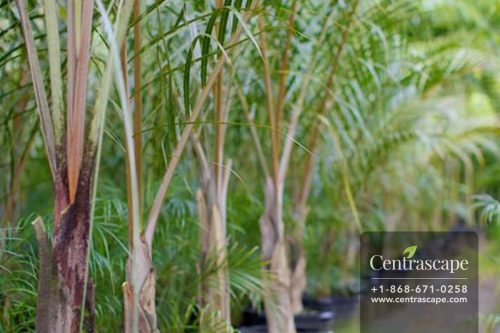 Centrascape - Palms - Spindle