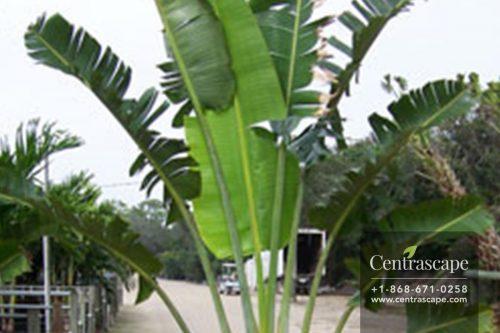 Centrascape - Palms - Travellers