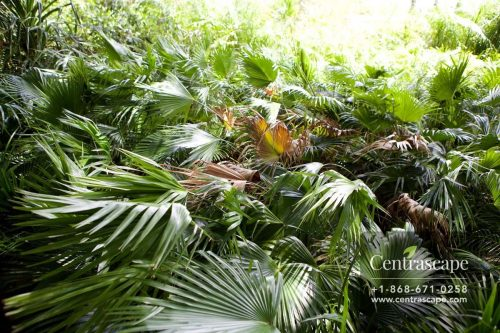 Centrascape - Palms - Chinese fan
