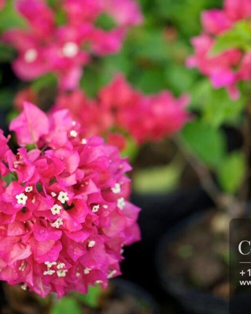 Centrascape - Perennials - Bougainvillea
