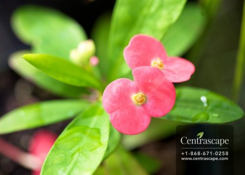 Centrascape - Perennials - Mini Crown of Thorns