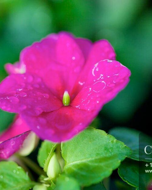 Centrascape - Plants - Impatients