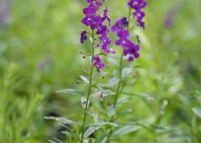 Centrascape - Shrubs - Angelonia 1
