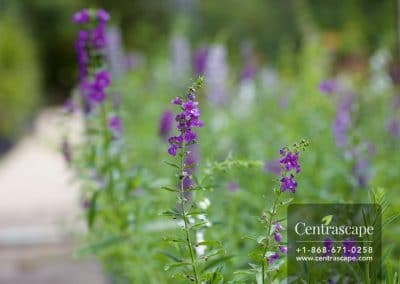 Centrascape - Shrubs - Angelonia 2