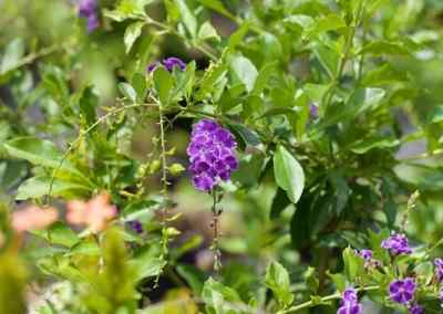 Centrascape - Shrubs - Angelonia 3