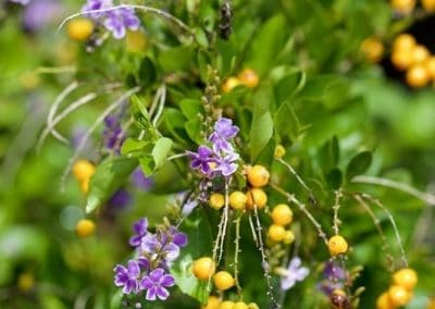 Centrascape - Shrubs - Angelonia 6