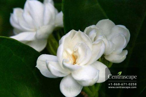 Centrascape - Shrubs - Arabian Jasmine