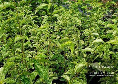 Centrascape - Shrubs - Barriara