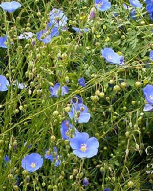 Centrascape - Shrubs - Blue Flax