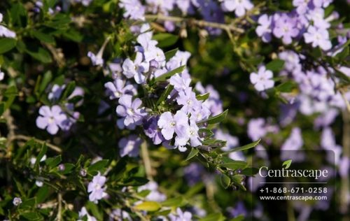 Centrascape - Shrubs - Freylinia
