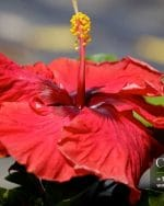 Centrascape - Shrubs - Hibiscus Red