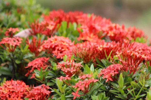Centrascape - Shrubs - Mini Ixora Red