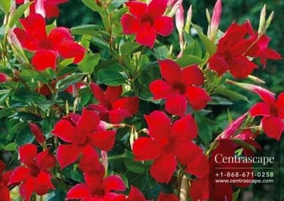 Centrascape - Shrubs - Mini Mandevilla
