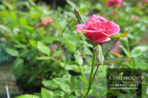 Centrascape - Shrubs - Miniature Rose