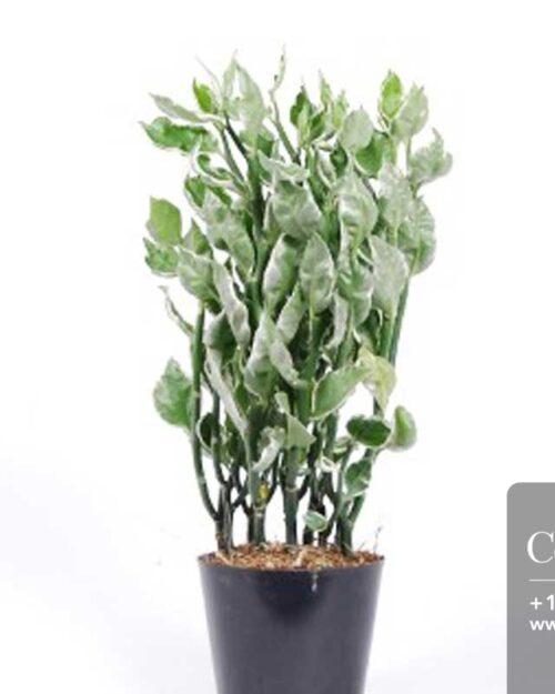 Centrascape - Shrubs - Pedilanthus