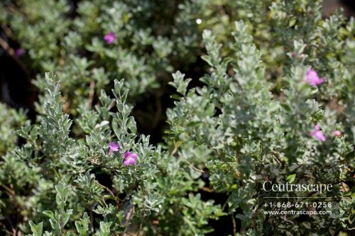 Centrascape - Shrubs - Texas Sage