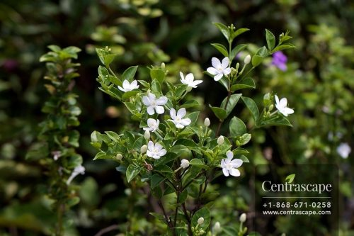 Centrascape - Shrubs - Wrightia Antidysentarica