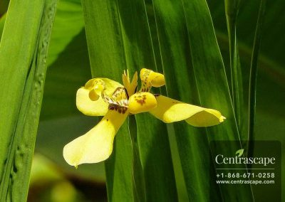 Centrascape - Shrubs - Yellow Iris