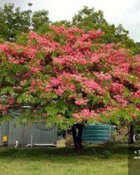 Centrascape - Trees - Apple Blossom Cassia