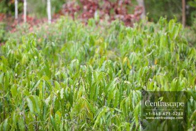 Centrascape - Trees - Ashoka