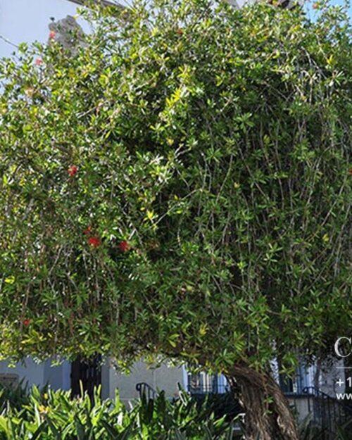 Centrascape-Trees-Bottlebrush