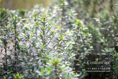 Centrascape - Trees - Eugenia
