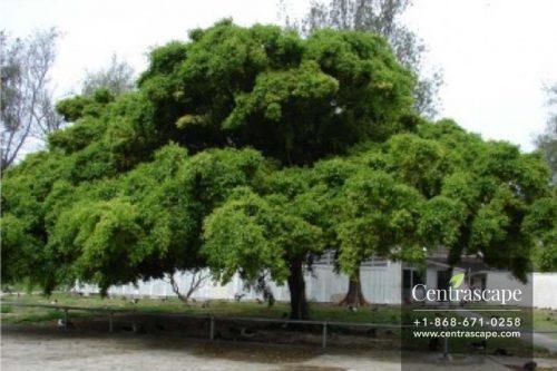 Centrascape---Trees---Ficus-benjamina