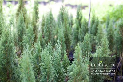 Centrascape - Trees - Italian Cypress