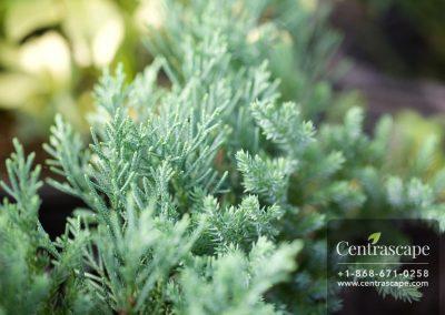 Centrascape - Trees - Juniper Spreading