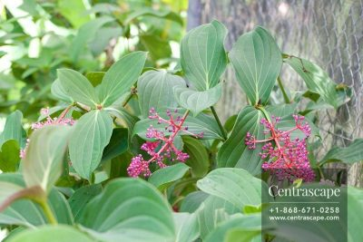Centrascape - Trees - Medinilla