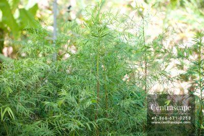 Centrascape - Trees - Podocarpus